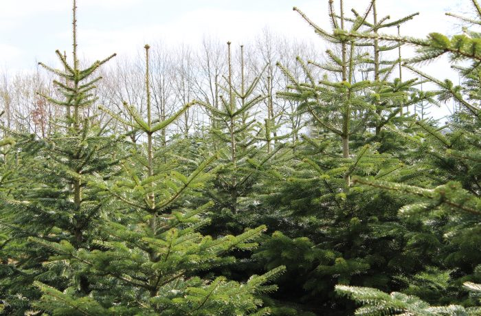 Weihnachtsbaumfeld3