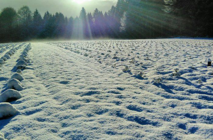 Weihnachtsbaumfeld4