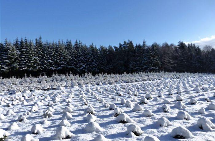 Weihnachtsbaumfeld5