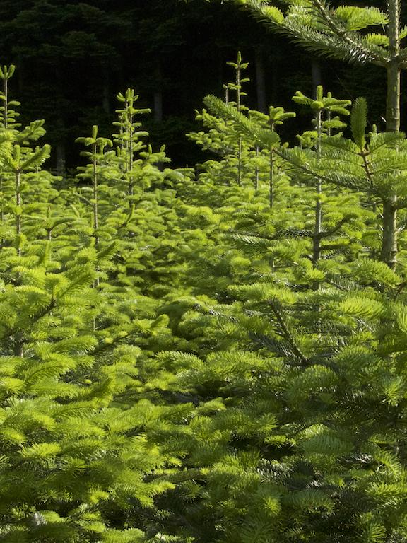 Einzelansicht verkaufsreife Weihnachtsbäume im Wald. Bis 2,30 Meter.