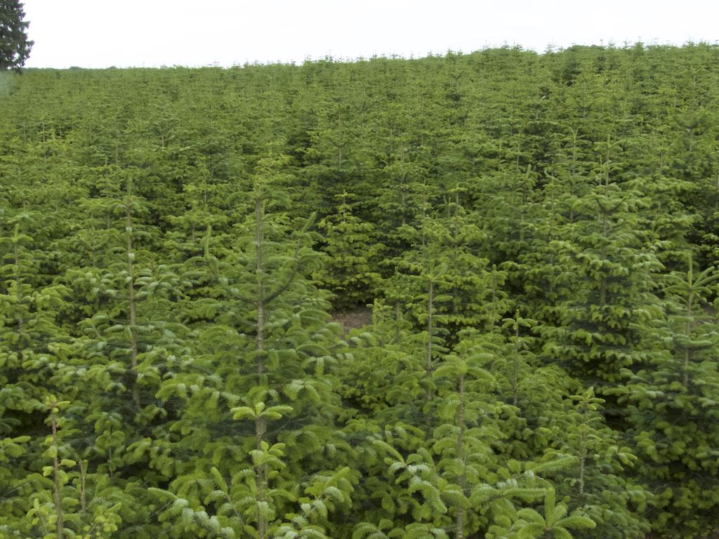 Überblick verkaufsreife Weihnachtsbäume bis 2,80 Meter.