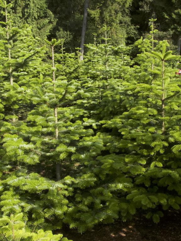 Einzelbaum im Wald. Bis 3 Meter.